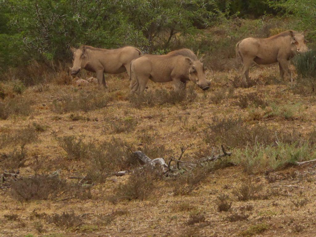Shamwari Photographic Safari Warthogs