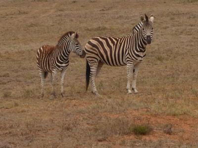 Shamwari Photographic Safari Zebra