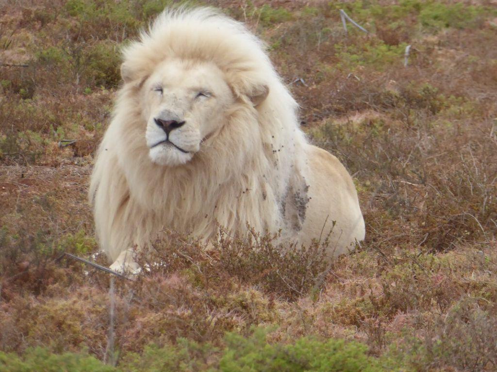 Down Time Shamwari Born Free Rescue Centre White Lion