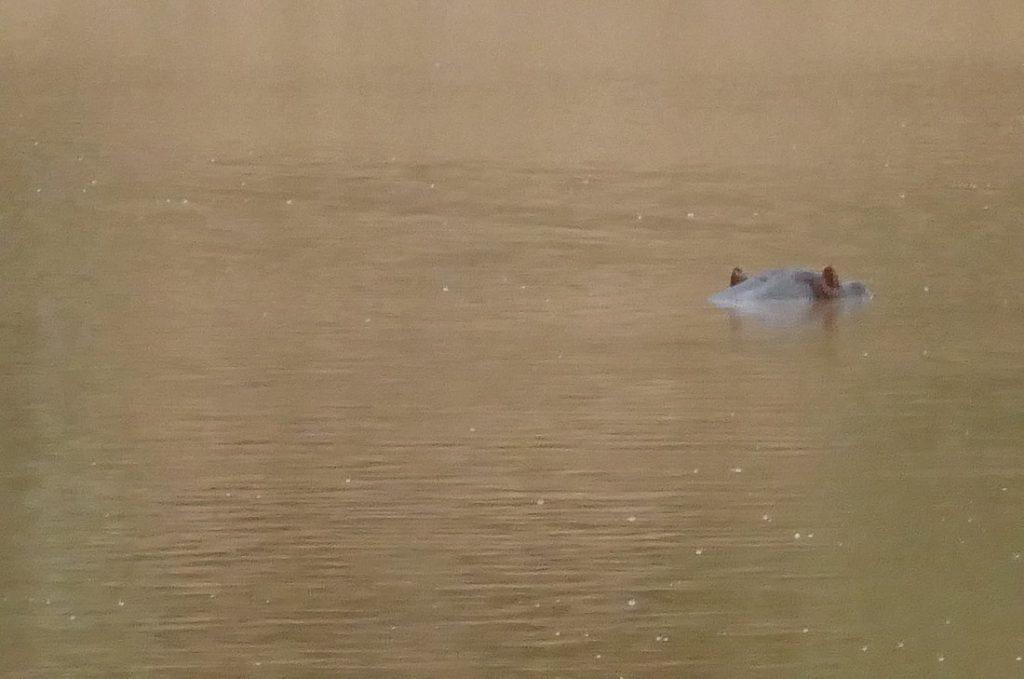 Downtime Shamwari Hippo
