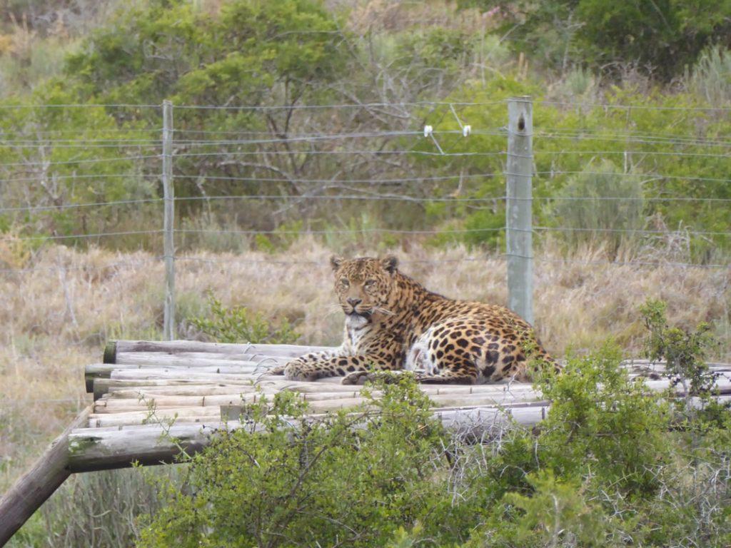 Down Time Shamwari Born Free Rescue Sanctuary Leopard