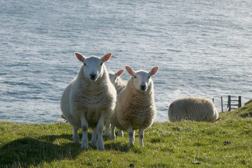 Life on the Edge Sheep on Faraid Head