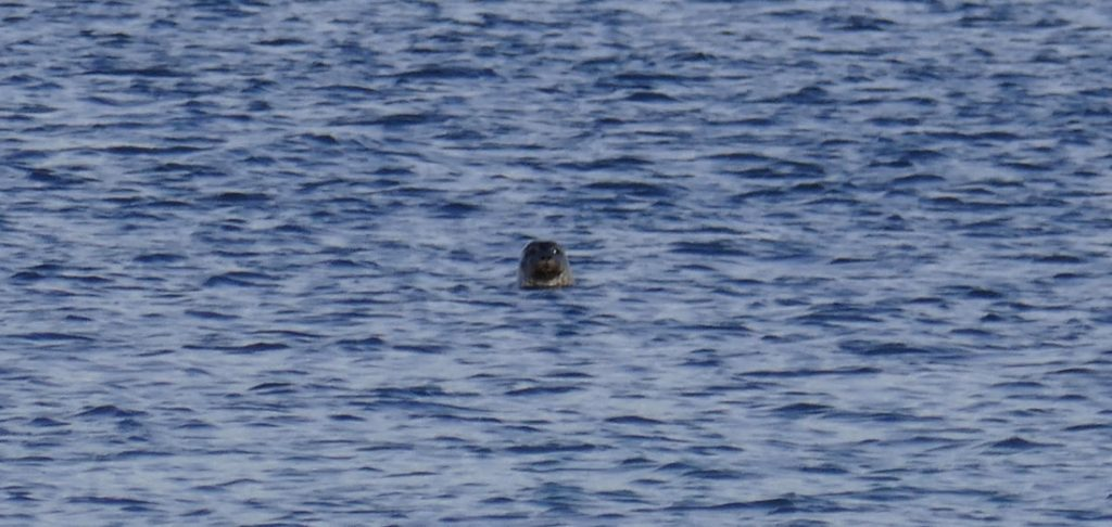 Today's Rain is Tomorrow's Old Pultney A friendly seal pops his head above the water to say hallo!