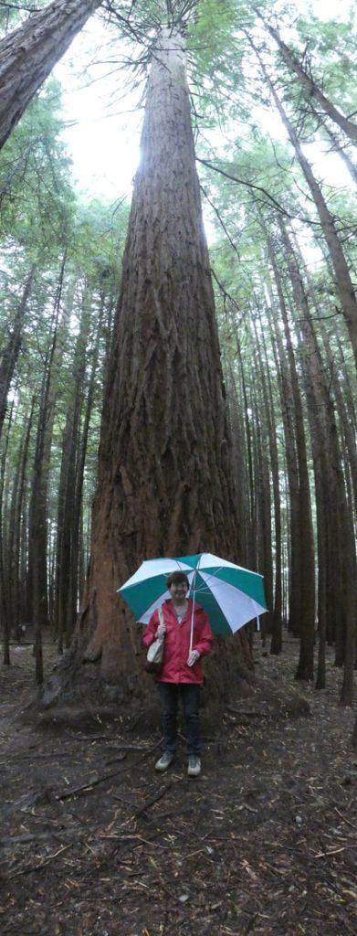 New Zealand Weather Redwoods in the rain ...