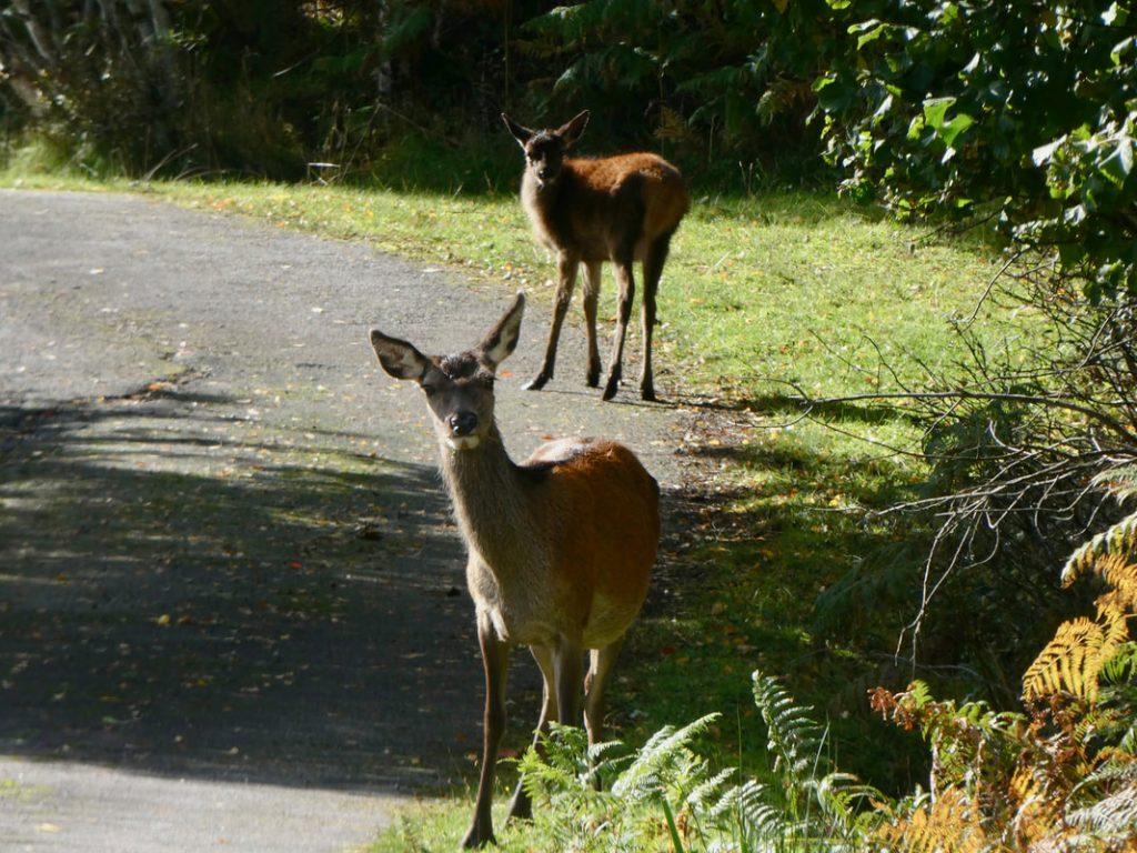 Kylesku to Aultbea Scottish deer