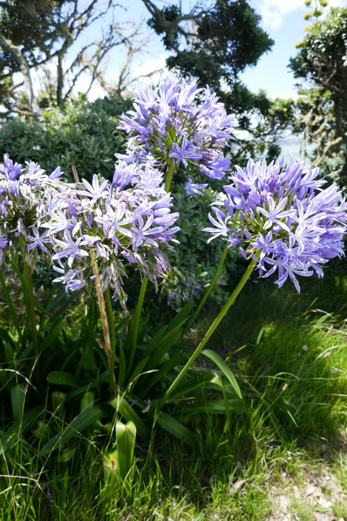 KeriKeri New Zealand Agapanthus
