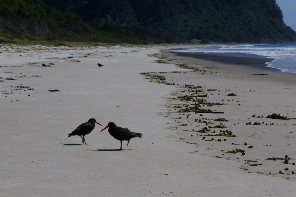 Whangamata Opoutera Beach - Oyster Catchers