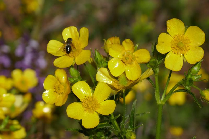 Spring flowers - La Caldero de los Pinos