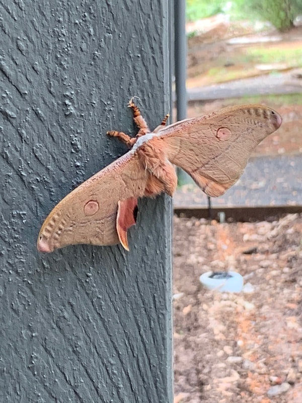 Entrecasteaux National Park WA WA Fauna Karri Moth Karri Valley Resort WA