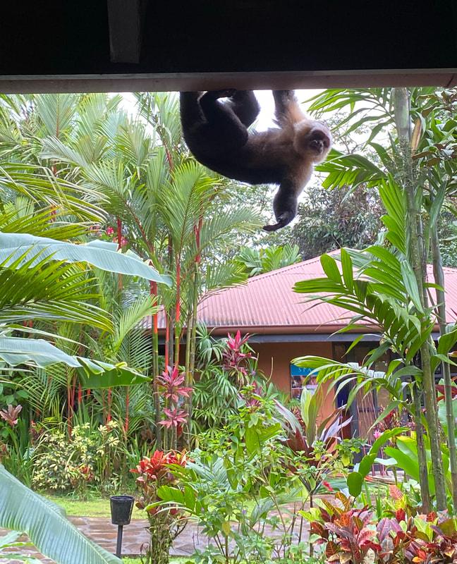 Capuchin Monkey Nayara Resort Costa Rica
