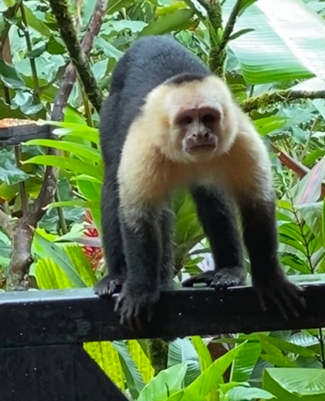 White Capuchin Faced Monkey Nayara Resort Costa Rica