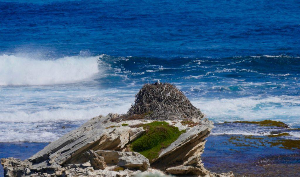 Rottnest Island WA Osprey Nest