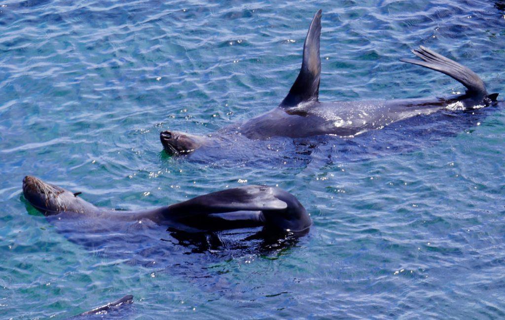 Rottnest WA New Zealand Fur Seals