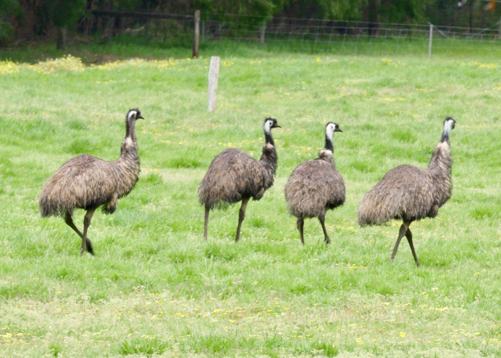 Pemberton WA Fauna Emus Karri Valley WA