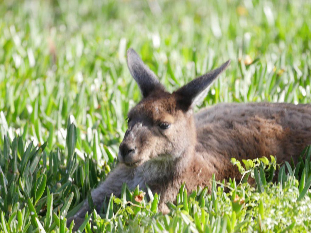 Albany to Bremer Bay WA Kangaroos - Quaalup Homestead Fitzgerald River NP WA