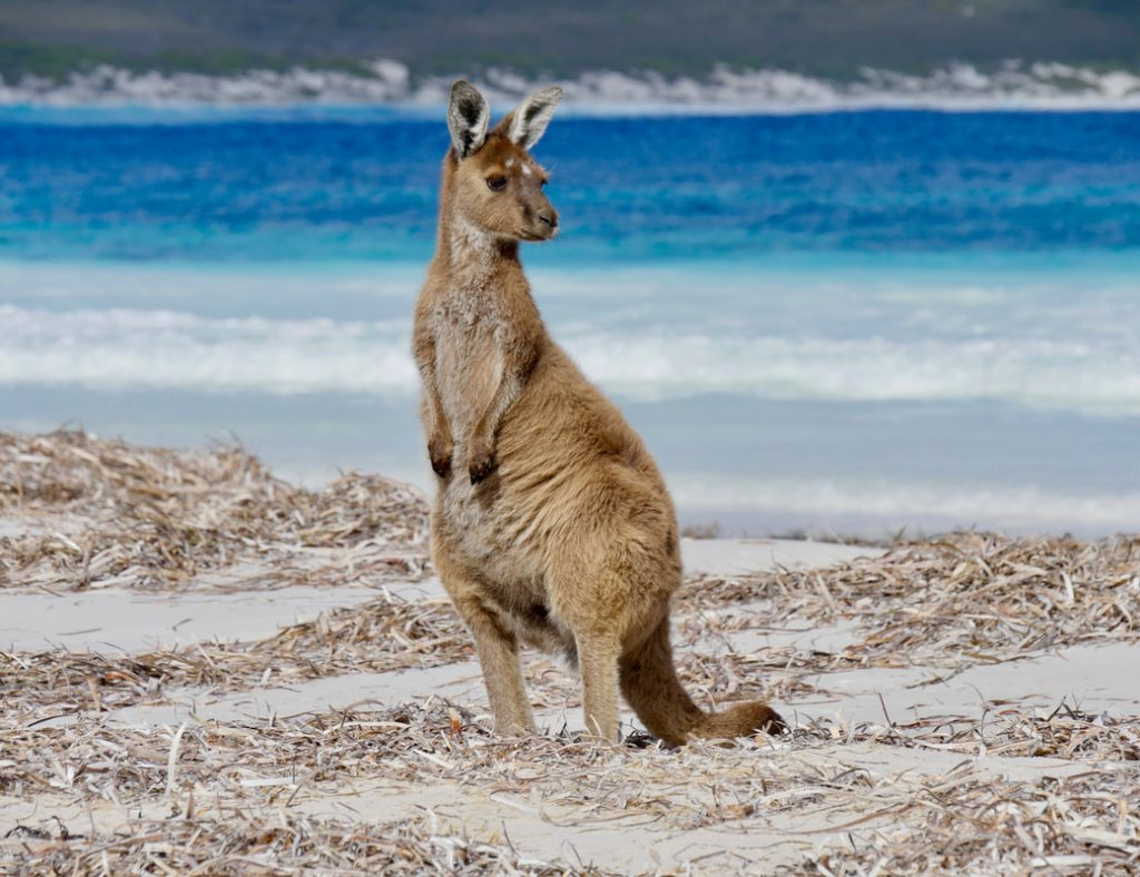 Esperance WA's Best Beaches Lucky Bay Cape le Grand NP Kangaroos