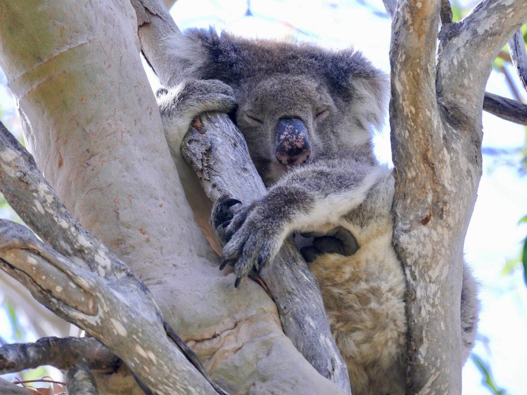 Perth to Geraldton Where to see Koala Bears in WA Fauna Koala Bear Yanchep NP