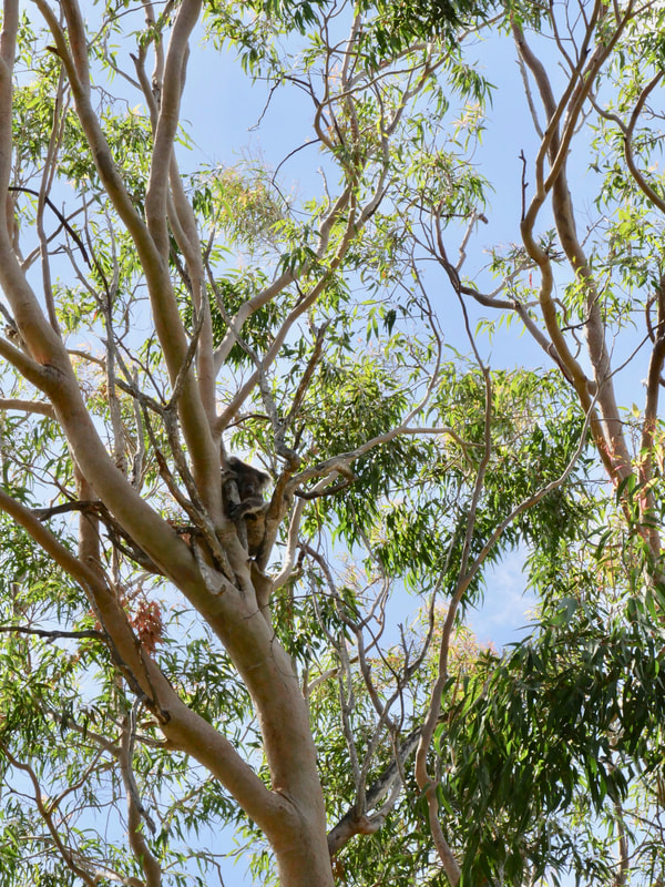 Perth to GeraldtonWhere to see Koala Bears in WA Fauna Koala Bear Yanchep NP