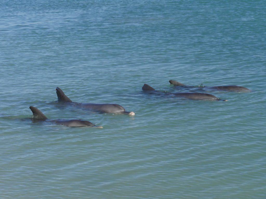 Shark Bay WA Monkey Mia Dolphins