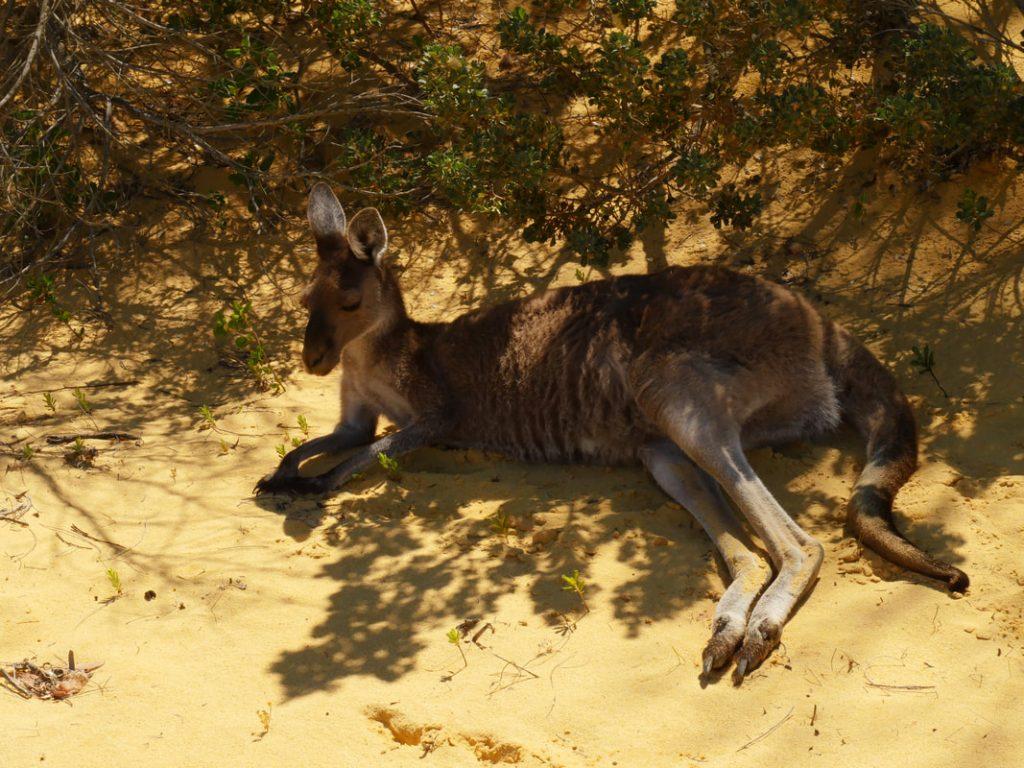 Kangaroo - Pinnacles Desert WA