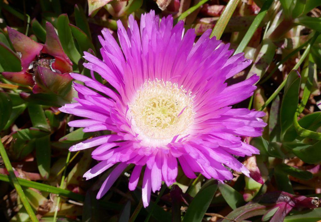 WA Flora pink mesembryanthemums