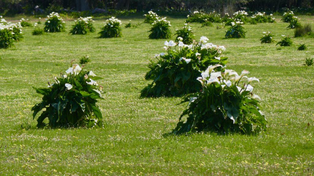 WA Flora Arum Lilies