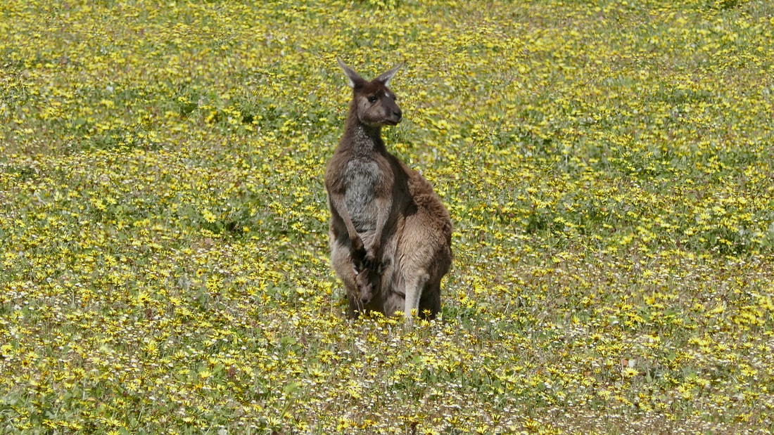 G'Day Skippy Kangaroo WA