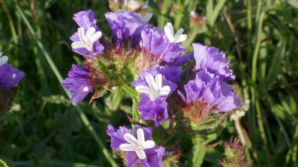 WA Flora Everlasting flowers