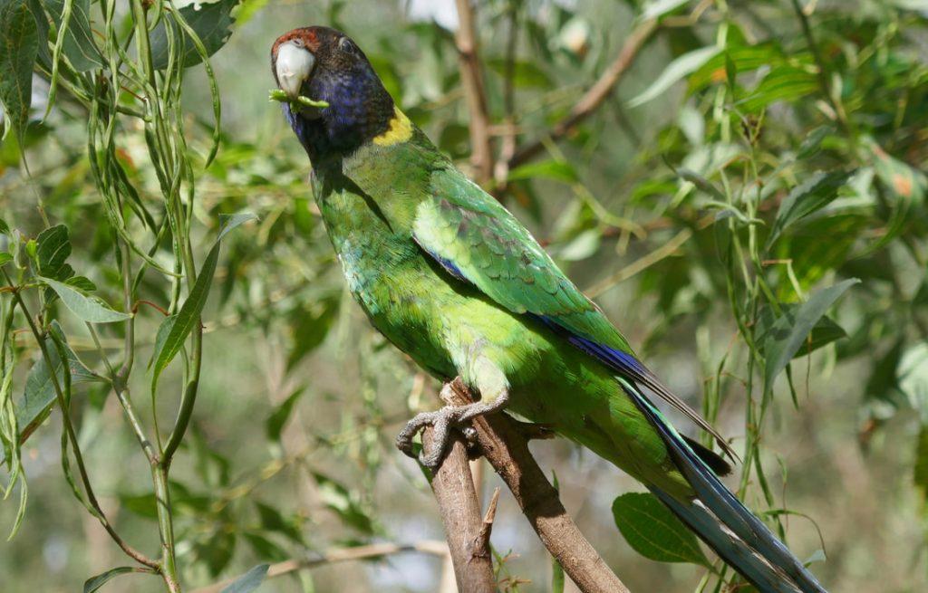 Margaret River Green Parrot Margaret River