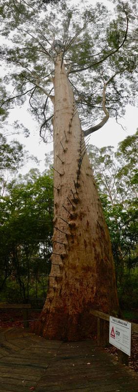 Gloucester Tree Pemberton WA