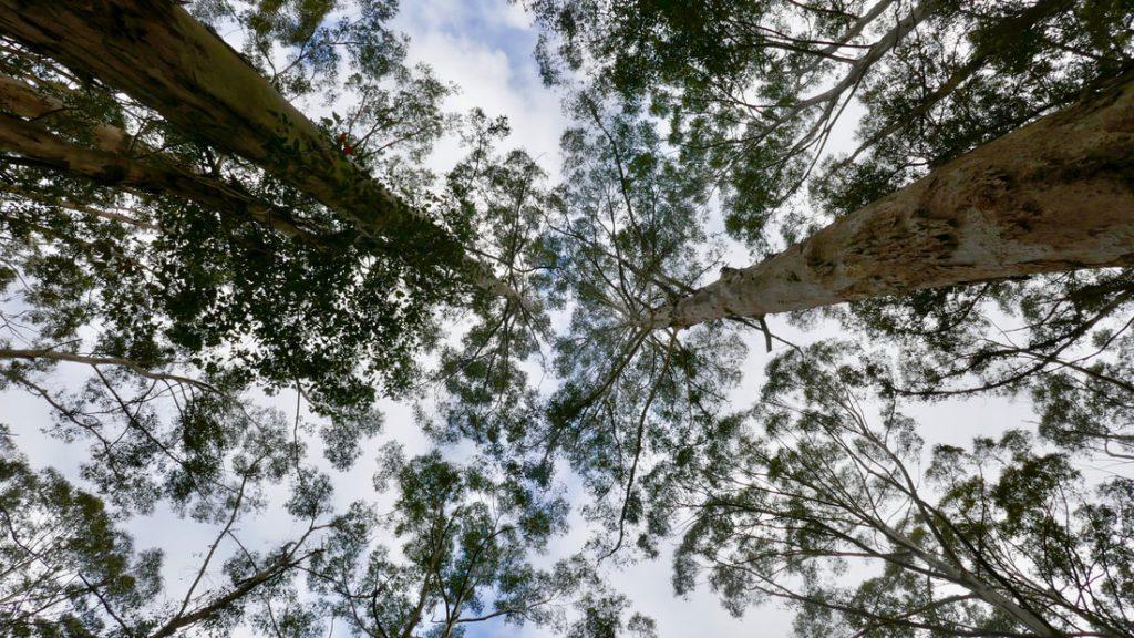 Pemberton WA Treeline