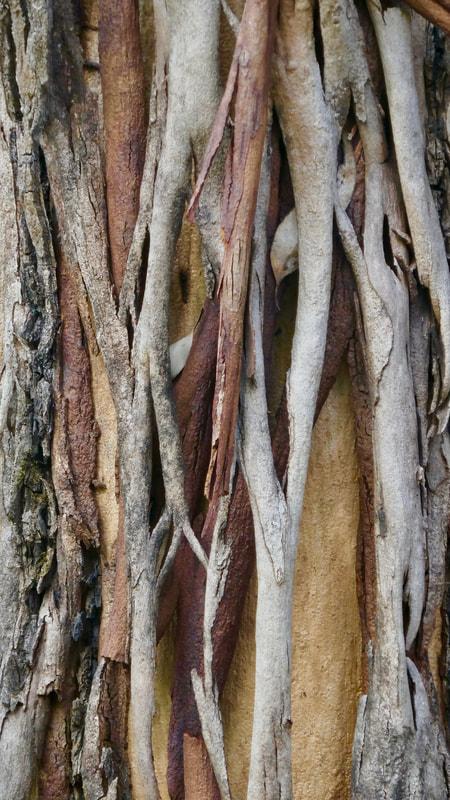 Wrinkles - Karri Tree style - Entrecasteaux NP WA