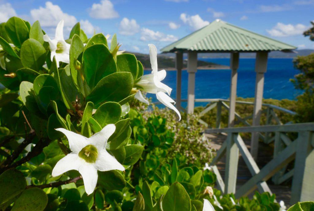 Torndirrup National Park WA Flora Sticky Tailflower - Anthoceris Viscosa Boardwalk - Middleton Beach WA