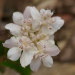WA Flora Stirling Range NP WA