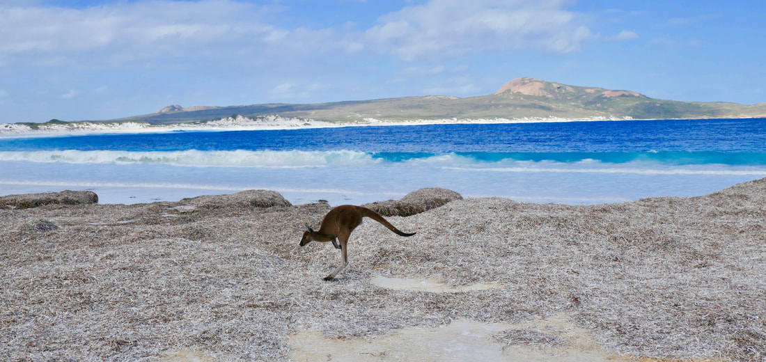 Kangaroos on Lucky Bay WA Australasia
