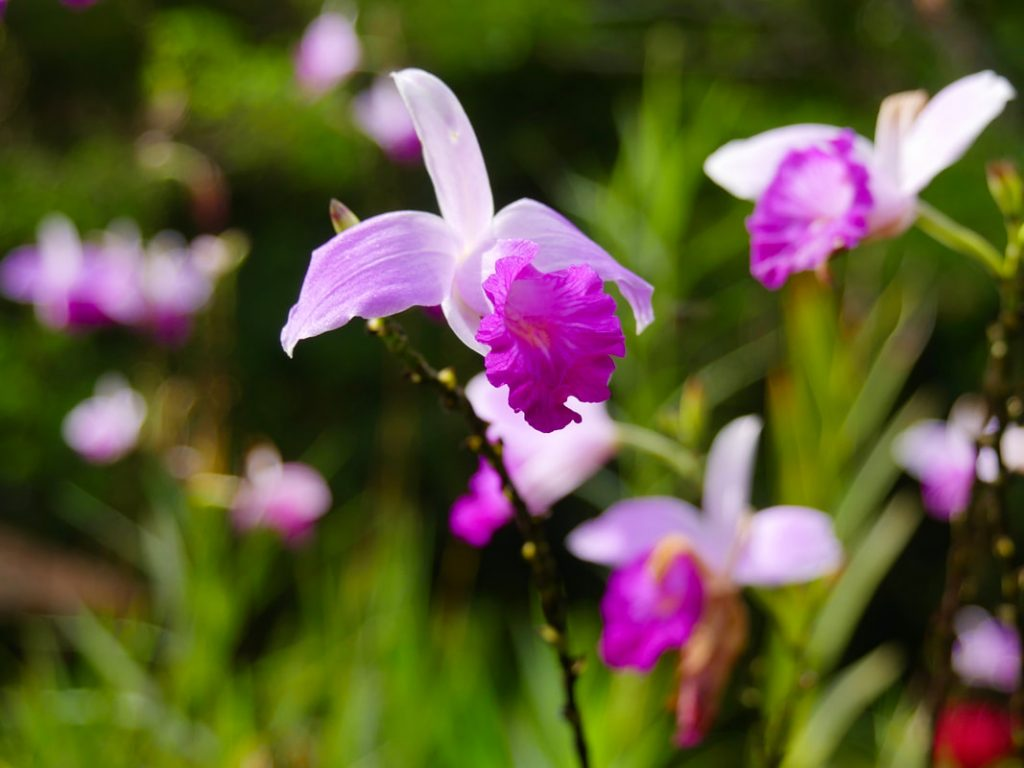 Bamboo Orchid Celeste River