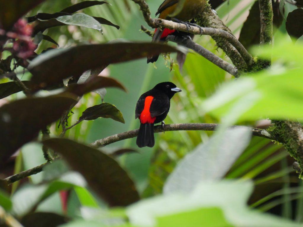 Cherrie's Tanagers Rio Celeste Costa Rica