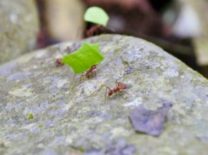 Arenal Volcano National Park Costa Rica Leaf Cutter Ant