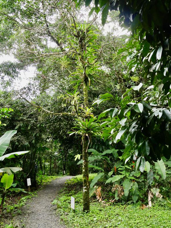 Costa Rica Flora Arenal Volcano - Guanabana Tree