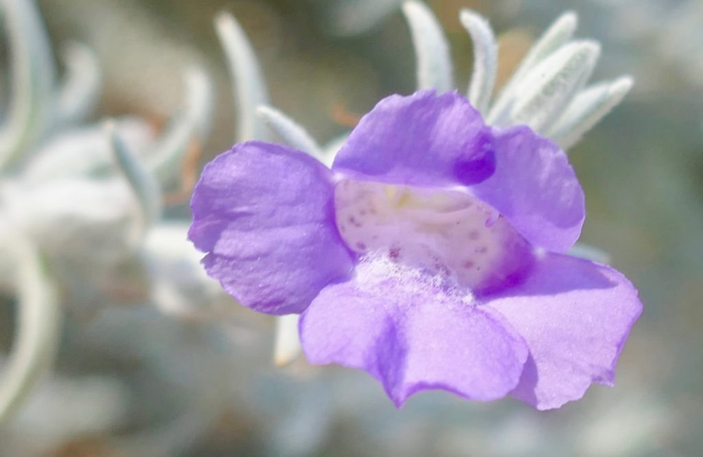Polished Perth WA Flora - Endangered Silky Soft Eremophila
