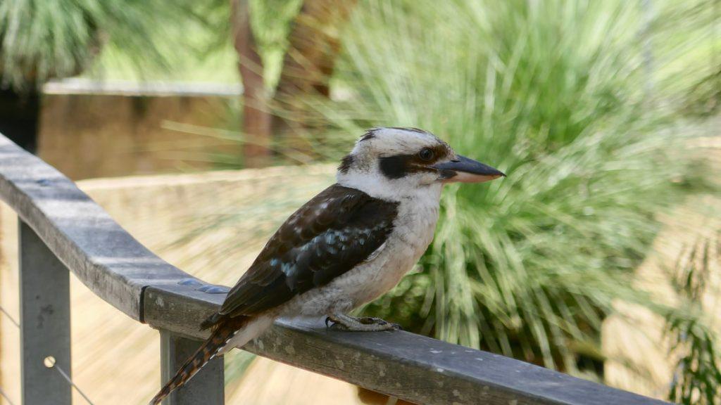 Perth to Geraldton WA Birds Kookaburra