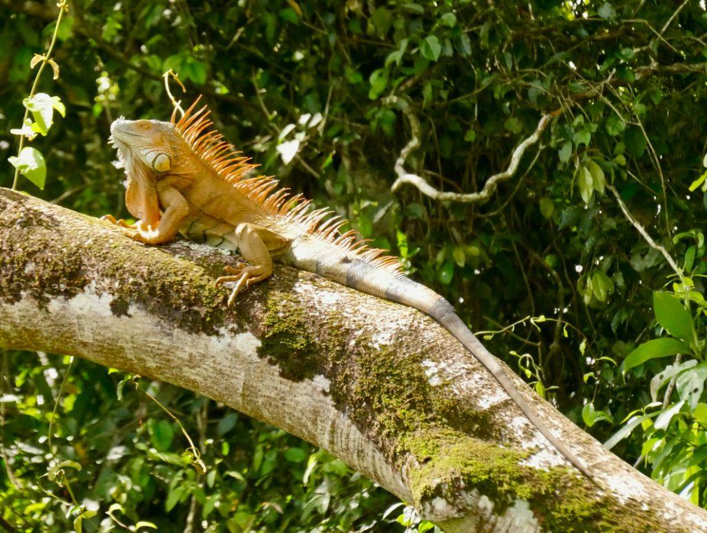 Caño Negro -Frio River Costa Rica Iguana