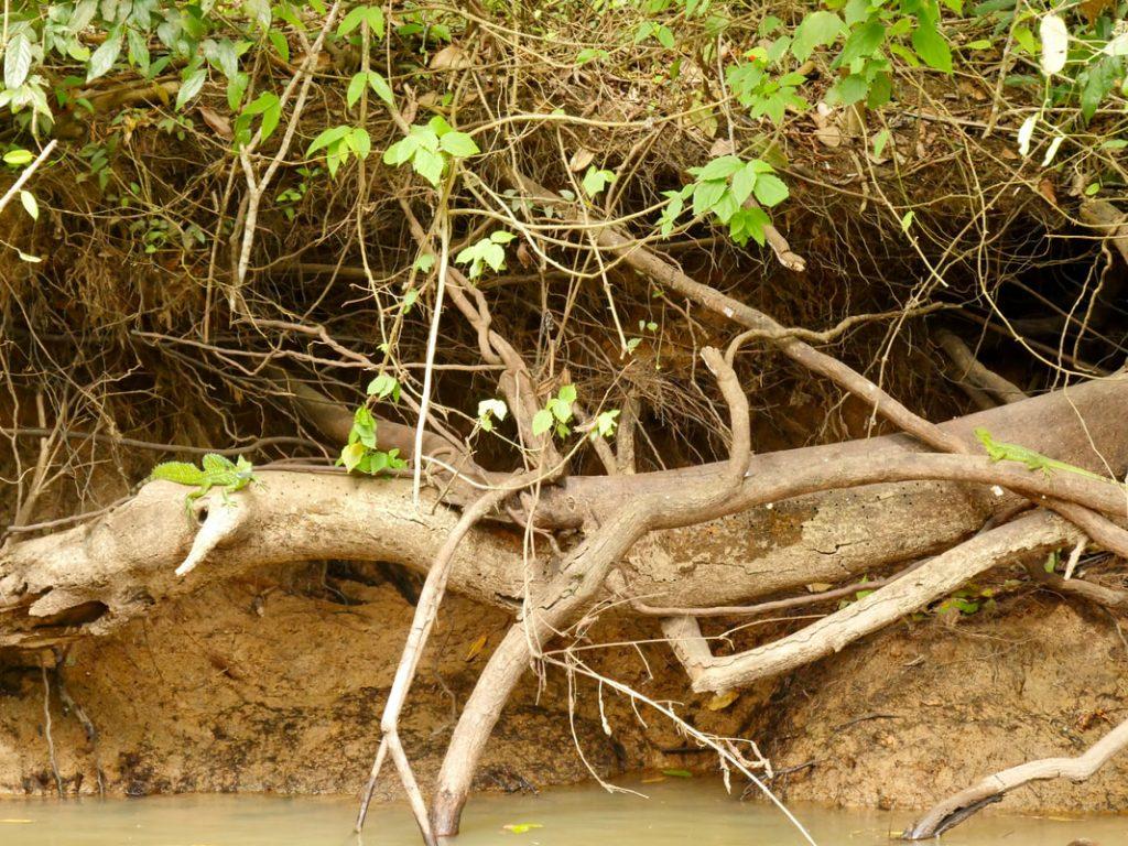 Caño Negro -Frio River Costa Rica Jesus Christ Lizard