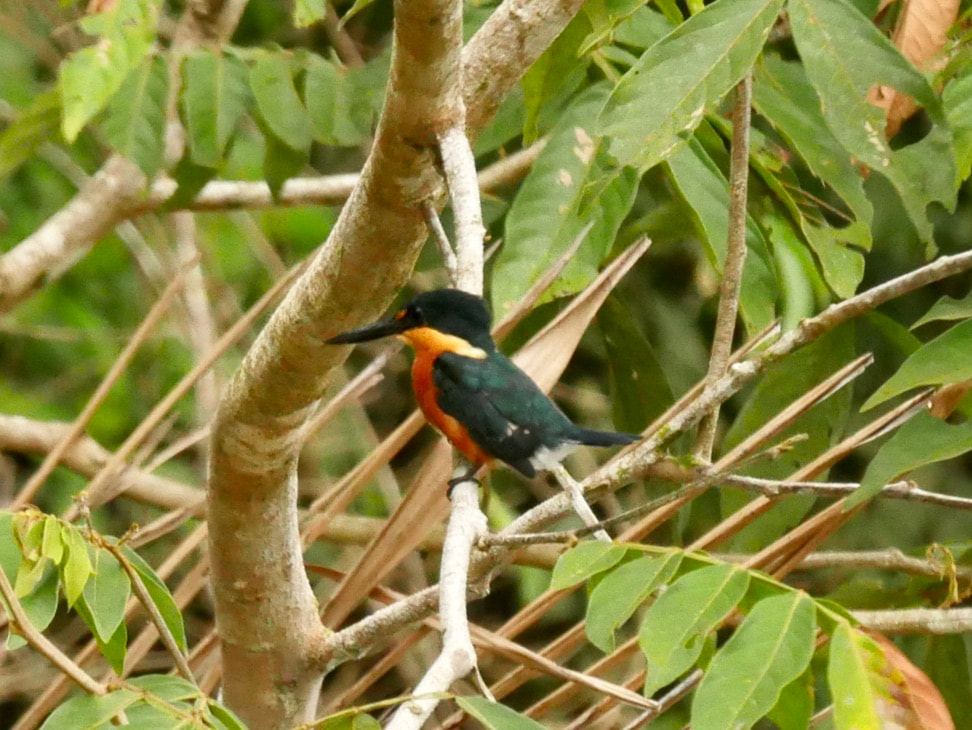 Caño Negro -Frio River Costa Rica American Pygmy Kingfisher