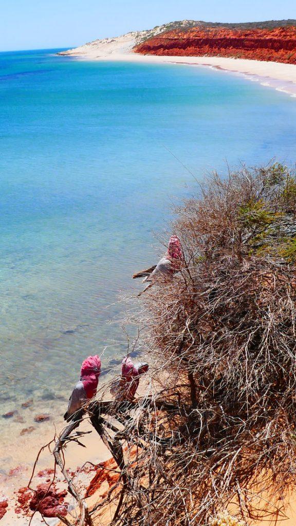 Shark Bay WA Galahs -Francois Peron National Park WA