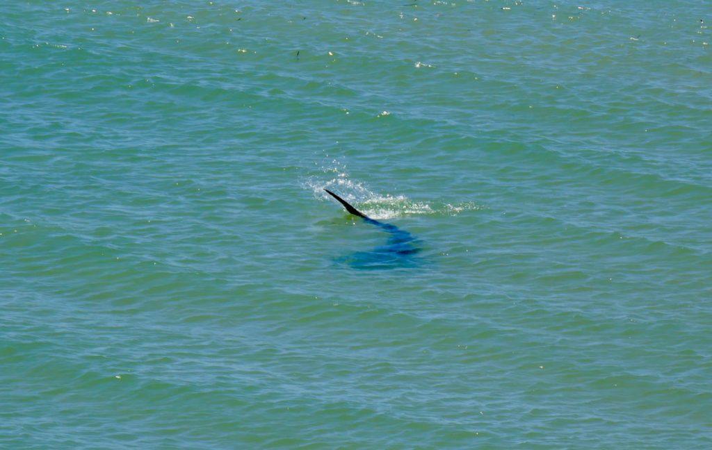 Monkey Mia Shark Bay A Shark - Francois Peron National Park WA