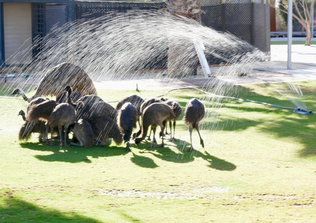 Monkey Mia Shark Bay Emus showering Monkey Mia WA