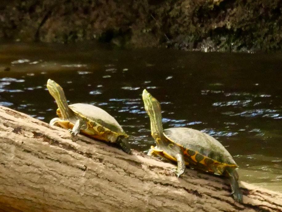 Caño Negro -Frio River Costa Rica Pair of Turtles
