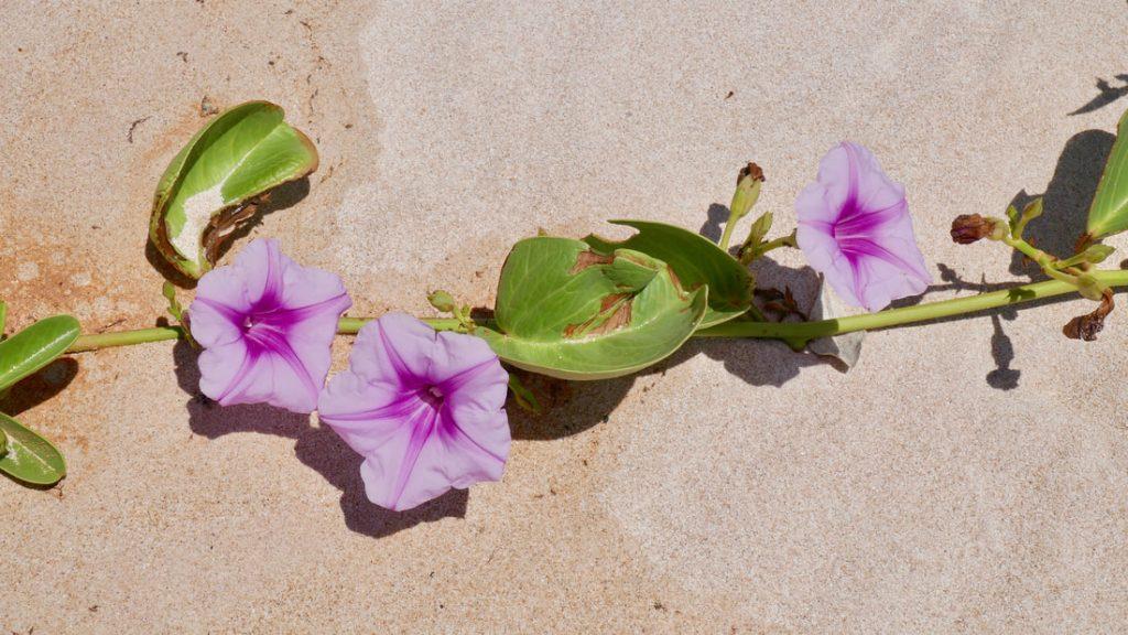 Yardie Morning Glory Trealla Beach