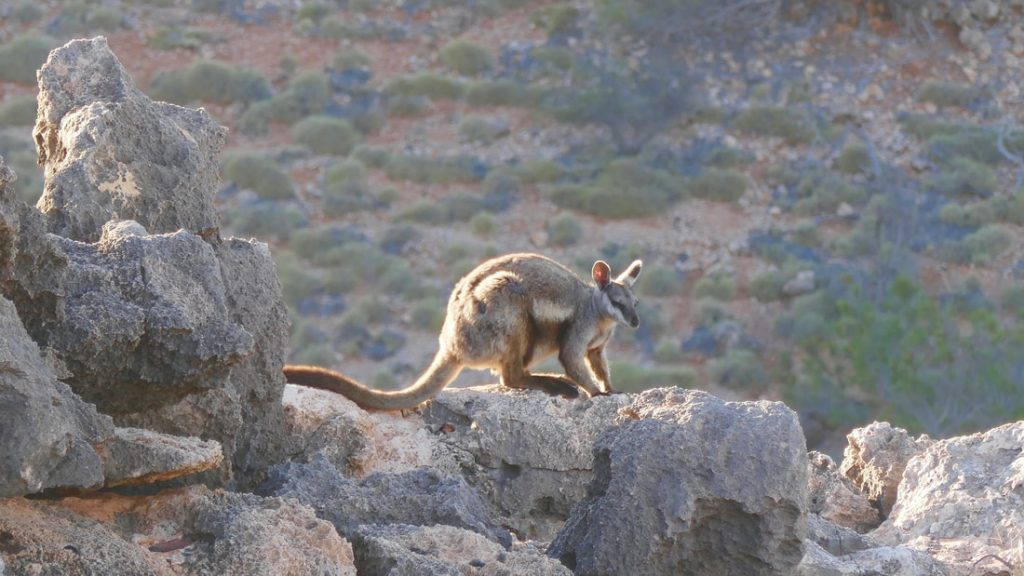 Exmouth to Carnarvon Black Flanked Rock Wallaby